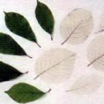 Скелетизиробанные листья.