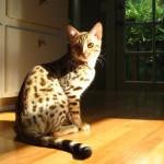 Кошка – идеальное домашнее животное.